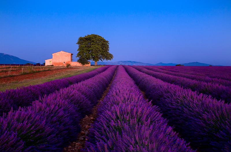 Lavender fields, Provence, France